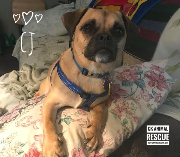 CJ, an adoptable Pug & Terrier Mix in Chatham, ON