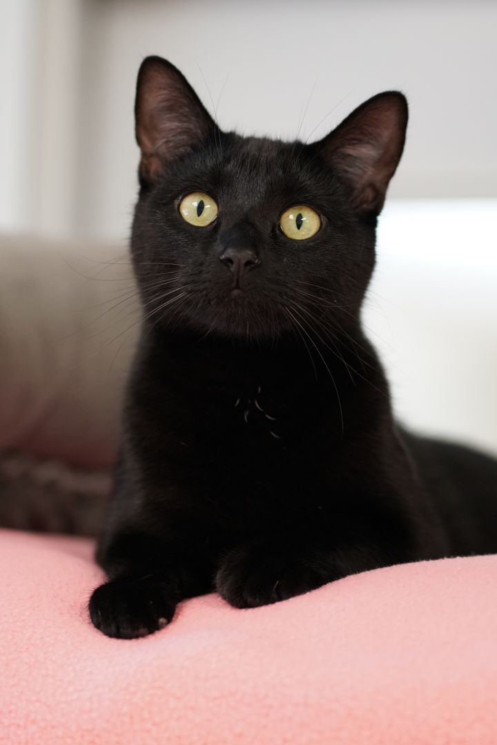 Albert Eggstein, an adopted Domestic Short Hair in Naperville, IL