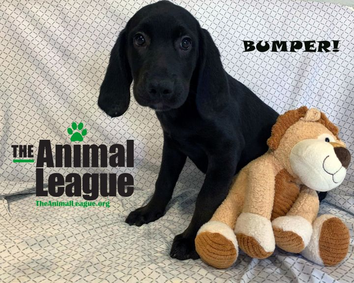 Bumper, an adoptable Basset Hound & Labrador Retriever Mix in Clermont, FL