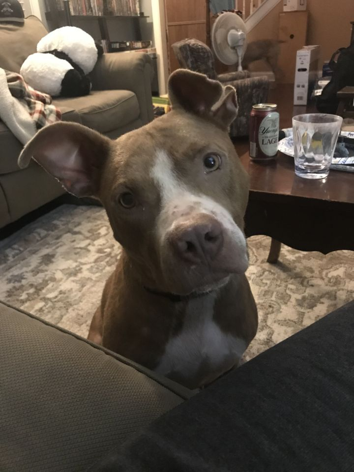 Rose, an adoptable Pit Bull Terrier Mix in Lexington, KY