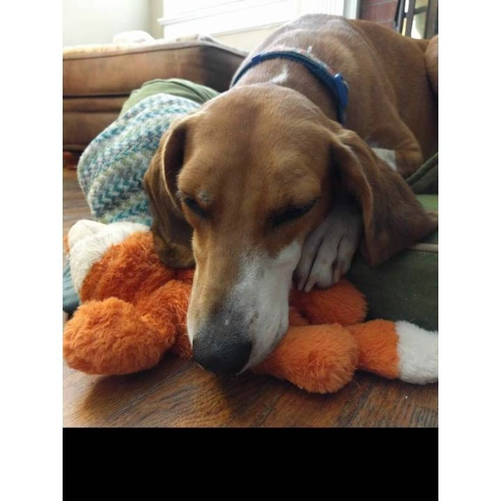 Sunglow, an adoptable Hound in Wake Forest, NC
