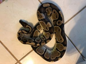 Snake for adoption - Betty Ball python, a Ball Python in