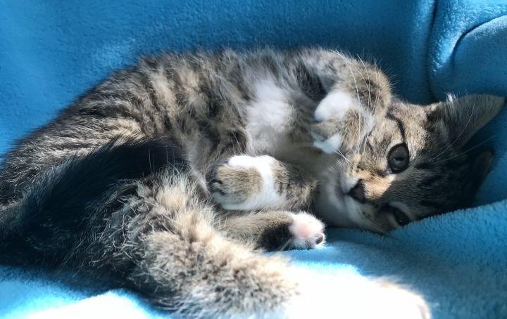 Yardley, an adopted Domestic Short Hair & Tiger Mix in Liverpool, NY