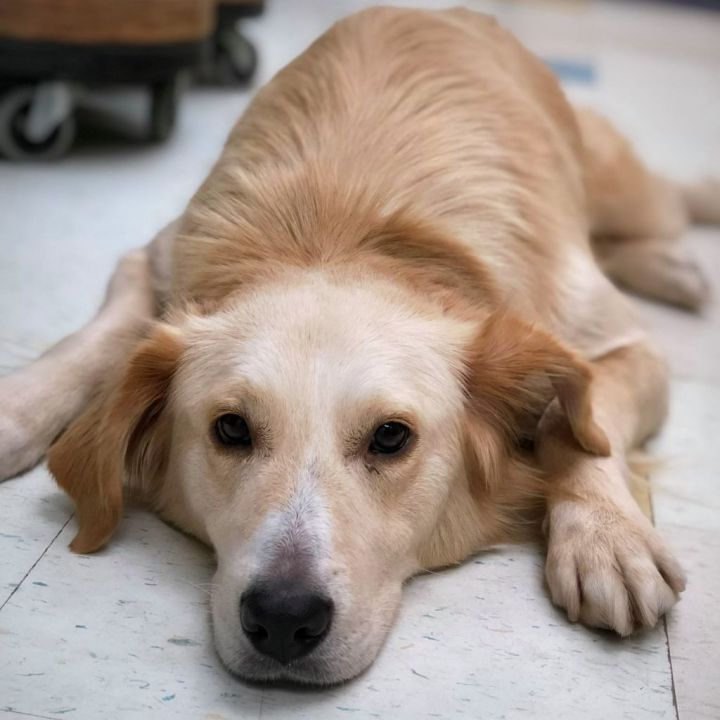 Dog for adoption - Shila, a Golden Retriever Mix in