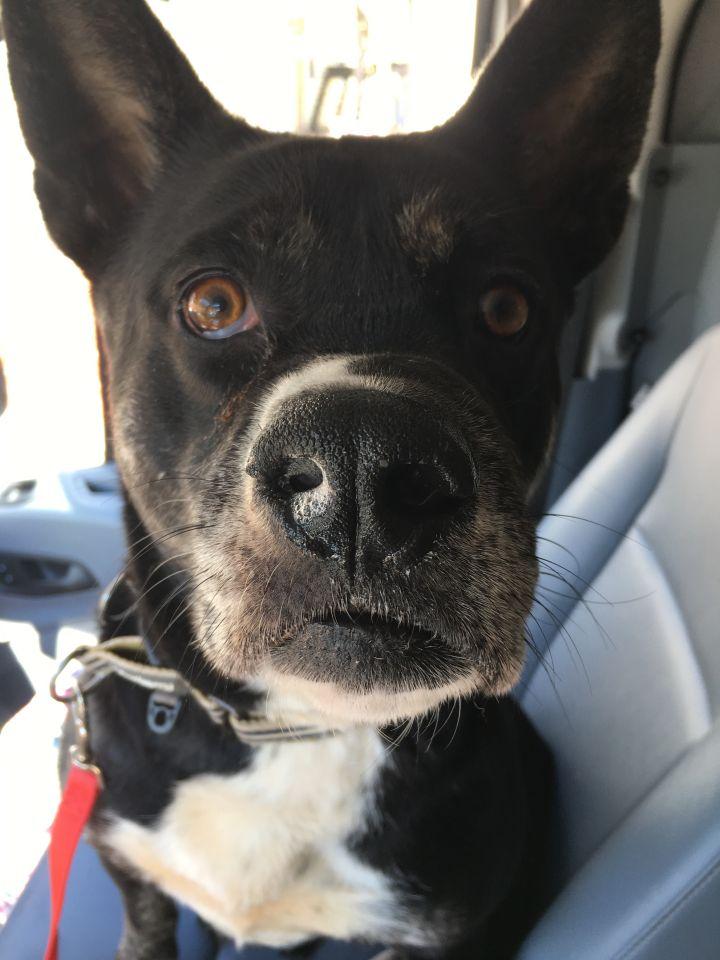 Dog for adoption - Eleanore, an Australian Cattle Dog / Blue Heeler