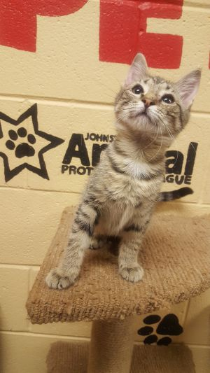 Cat for adoption - Tabs, a Domestic Short Hair in Smithfield