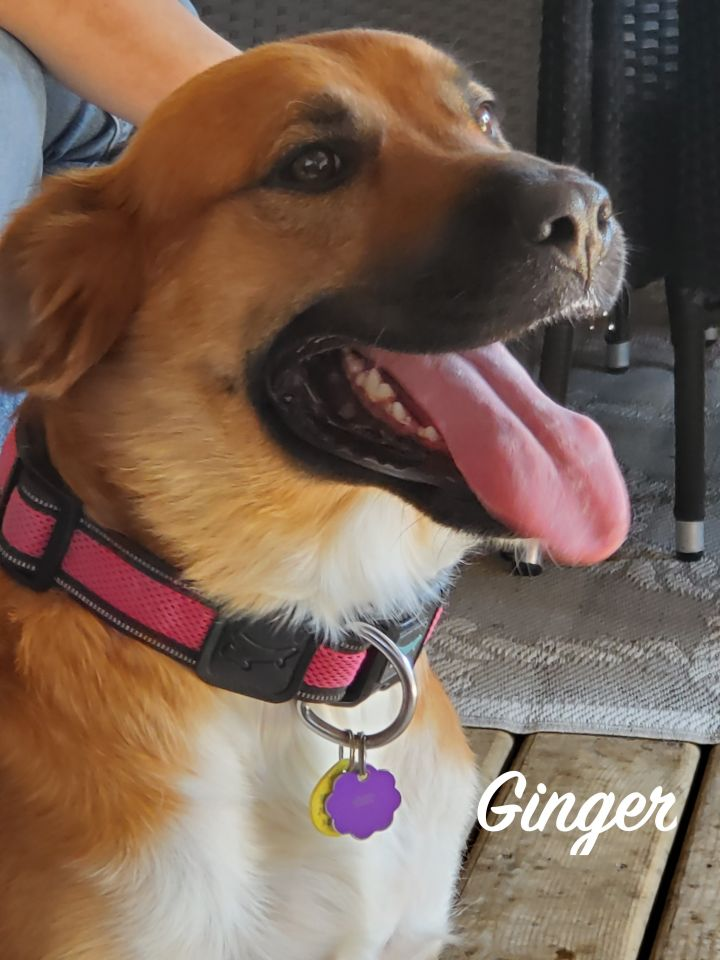 Ginger, an adoptable Shepherd Mix in Chatham, ON
