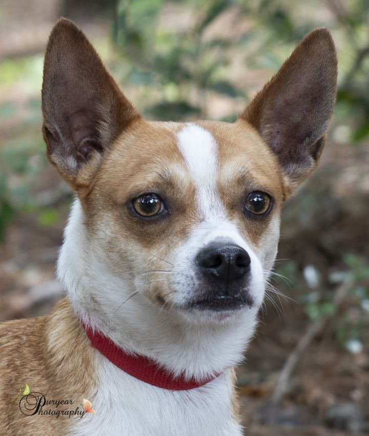 Buddy, an adopted Jack Russell Terrier Mix in MOBILE, AL