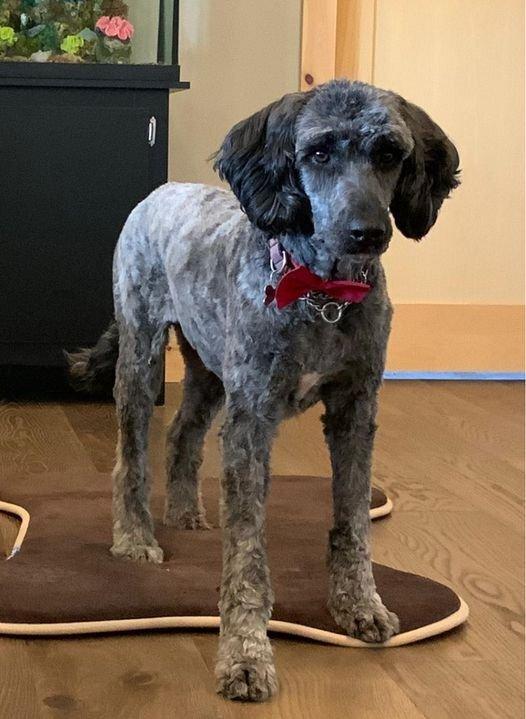 Dog For Adoption Valen A Standard Poodle Old English
