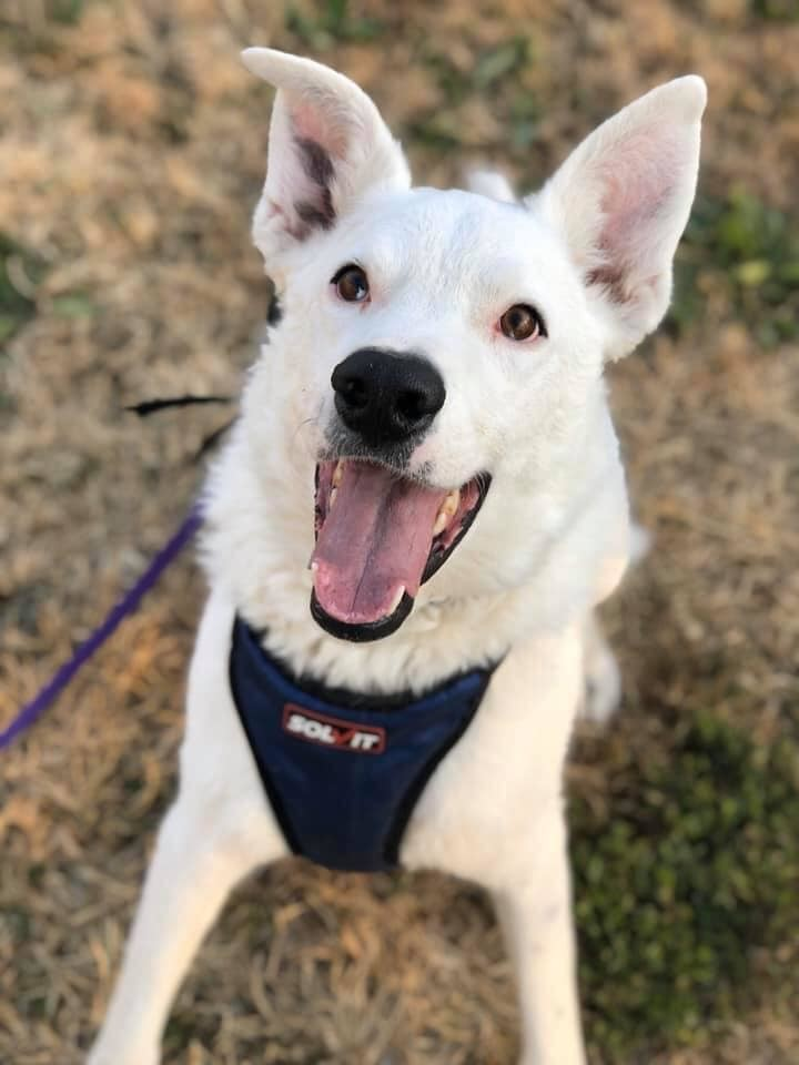 Stanley, an adoptable German Shepherd Dog & Husky Mix in Manhattan, KS
