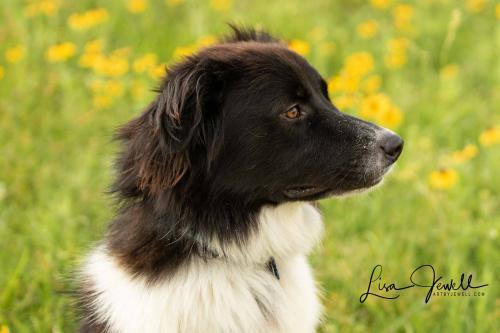 Buddy, an adoptable Border Collie & Australian Shepherd Mix in Winter Park, CO