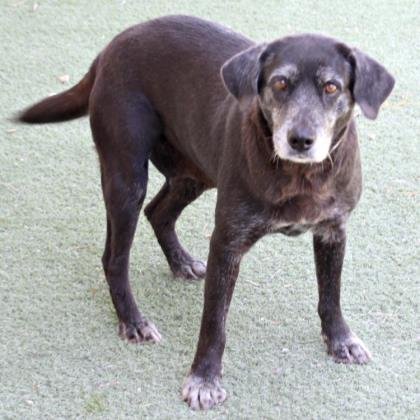 Estrella, an adoptable Labrador Retriever Mix in Loxahatchee, FL