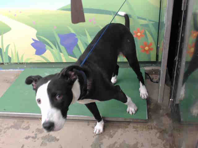 Dog for adoption - DAX, a Collie Mix in Waco, TX   Petfinder