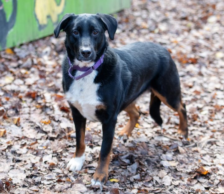 Patrick, an adopted Collie & Retriever Mix in Briarcliff Manor, NY