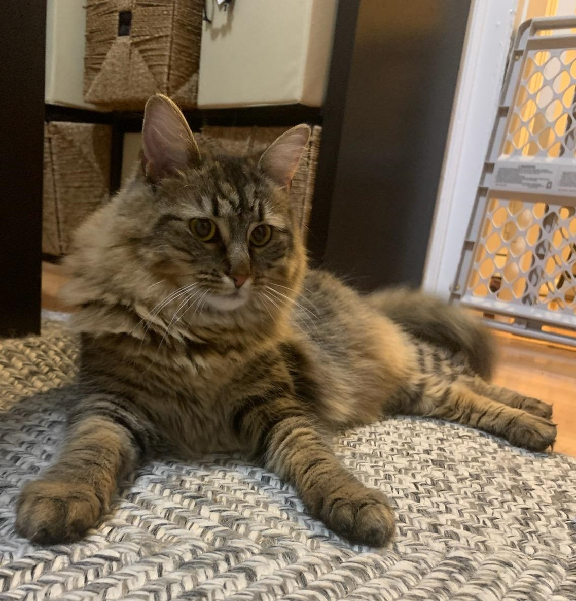 Cat For Adoption Angel A Domestic Medium Hair Maine Coon Mix In Fairfield Ct Petfinder