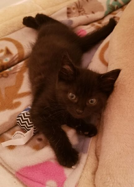 Vixey, an adopted Domestic Short Hair in Reston, VA