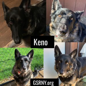 Dog For Adoption Keno A German Shepherd Dog In Delmar Ny Petfinder