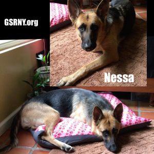 Dog For Adoption Nessa A German Shepherd Dog In Delmar Ny