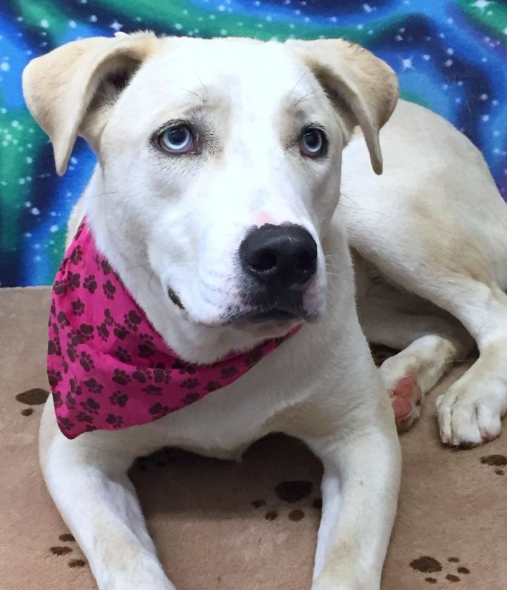 Dog For Adoption Nala A Pit Bull Terrier Husky Mix In Sumter