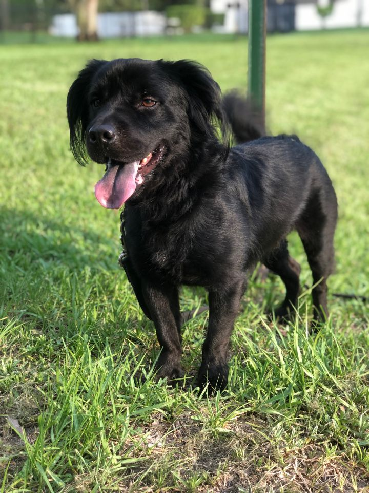 Xander, an adopted Flat-Coated Retriever Mix in Davie, FL