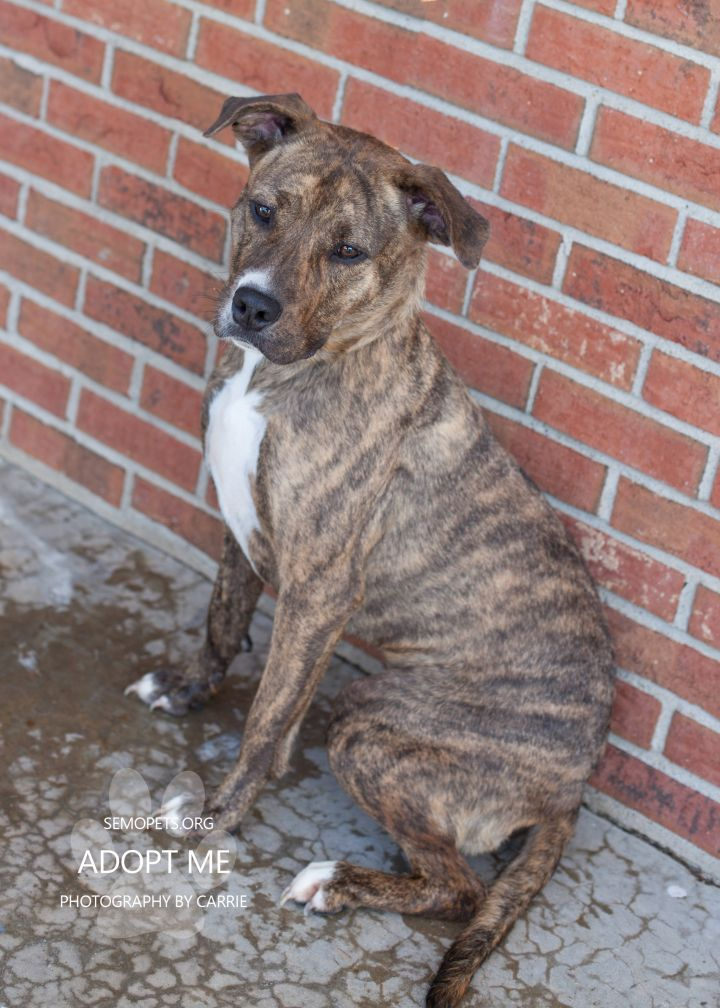 Diamond, an adoptable Pit Bull Terrier Mix in Cape Girardeau, MO
