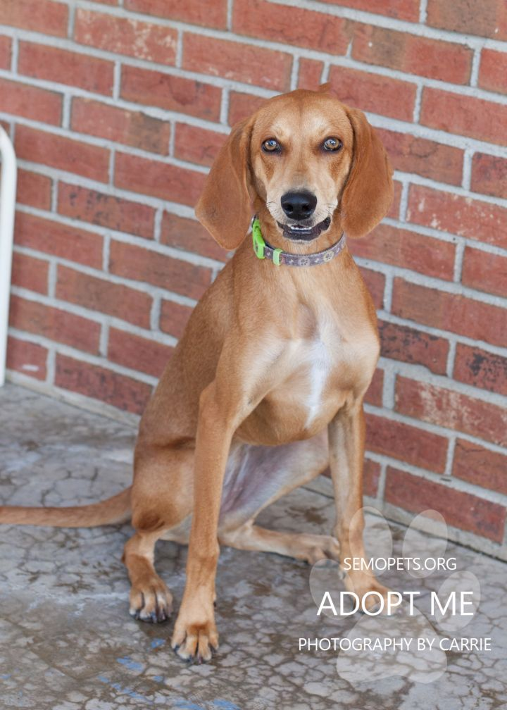 Lucky Charm, an adopted Hound Mix in Cape Girardeau, MO