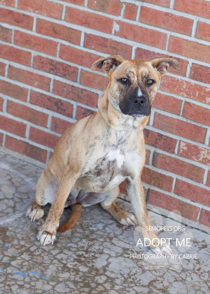 Tigger, an adoptable Pit Bull Terrier Mix in Cape Girardeau, MO