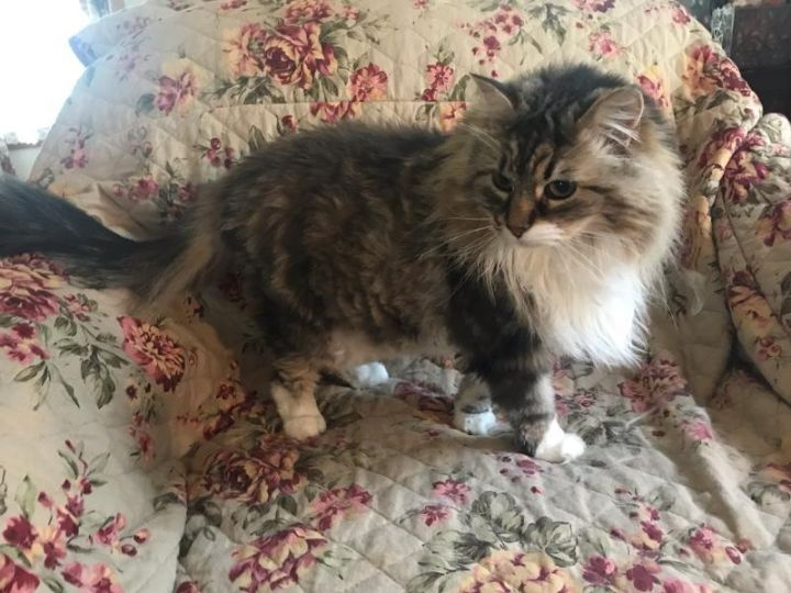 Angel, an adoptable Maine Coon & Domestic Long Hair Mix in Waverly, IA