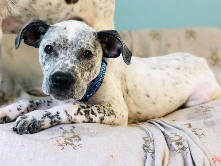 Sampson, an adopted Pointer & Terrier Mix in Seneca Falls, NY