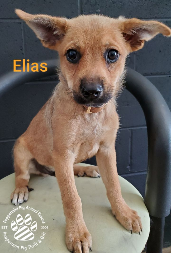 Elias, an adoptable German Shepherd Dog Mix in Cincinnati, OH