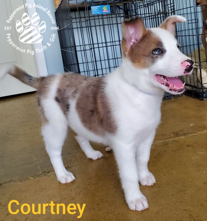 Courtney ADOPTION PENDING, an adopted Australian Shepherd Mix in Cincinnati, OH