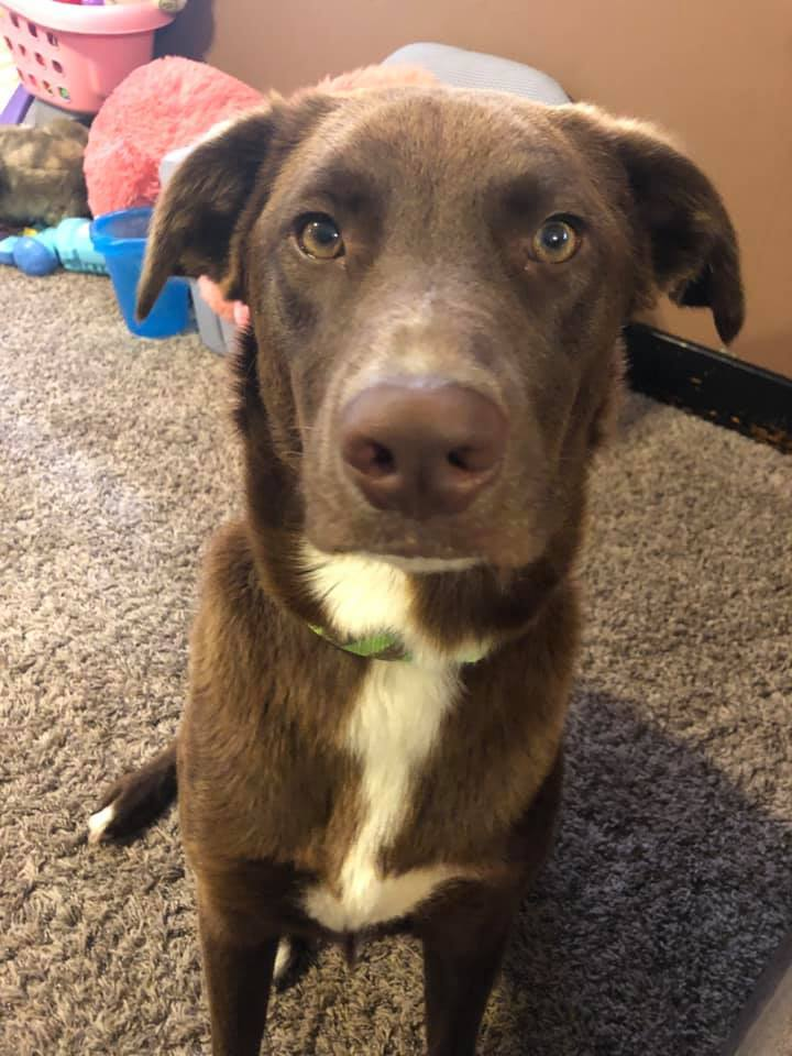 Athena Ray, an adopted Labrador Retriever & Australian Shepherd Mix in Manhattan, KS