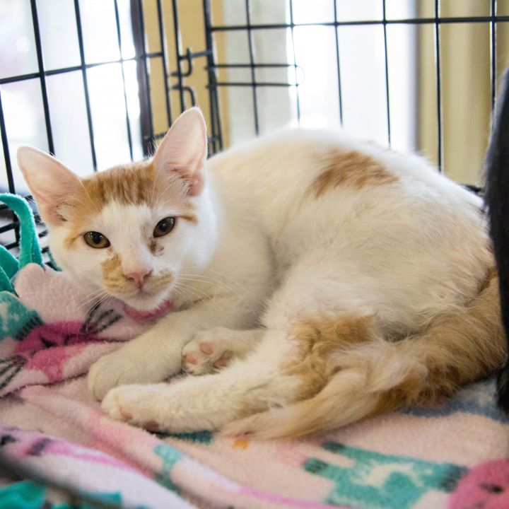 Amberto, an adoptable Domestic Short Hair in Mission Viejo, CA