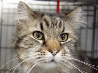Beckett, an adopted Maine Coon Mix in Anaconda, MT