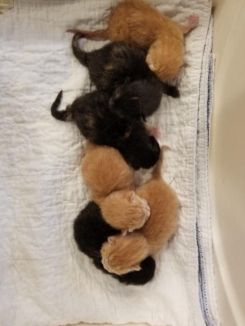 Cat for adoption - Tango, a Domestic Short Hair in Sauk