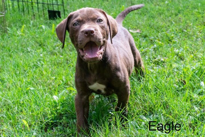 Eagle, an adoptable Labrador Retriever Mix in Milton, GA