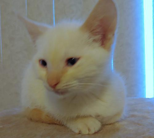 Apollo, an adopted Siamese & Domestic Short Hair Mix in Springfield, OR