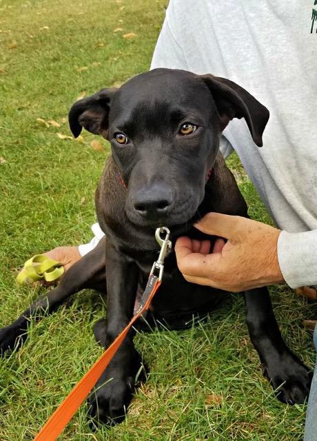 Dog for adoption - Collard, a Labrador Retriever Mix in Fond