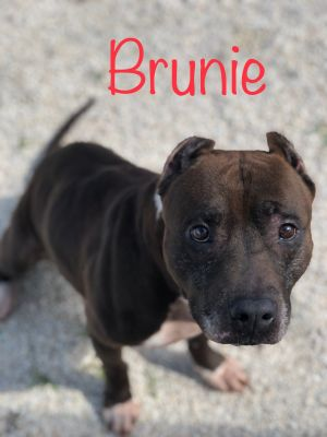 Brunie- male Bully mix 7-8 years old Fully vetted and ready for his new home and someone to give hi