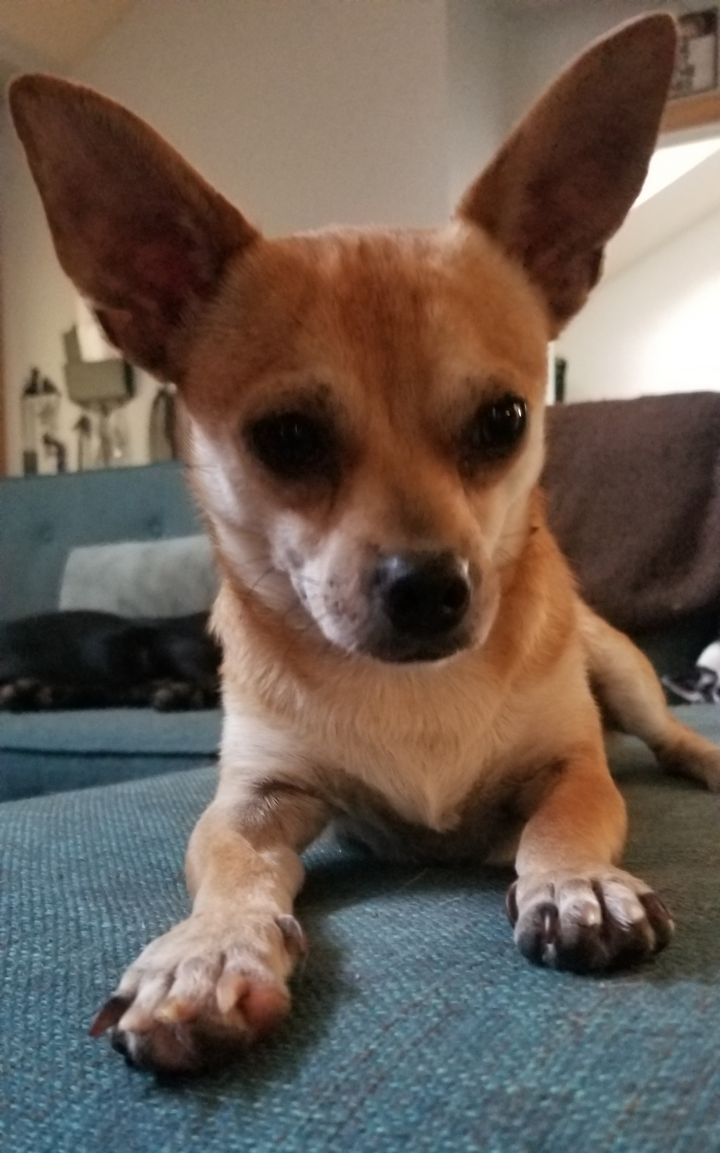 Max, an adopted Chihuahua Mix in Dallas, TX