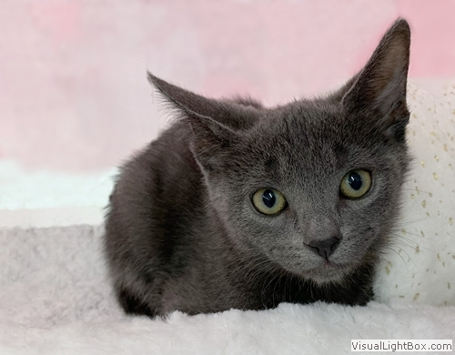 Mariska, an adoptable Russian Blue in Westchester, CA