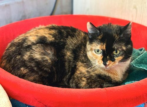 KeeKee, an adoptable Tortoiseshell & Calico Mix in Springfield, OR