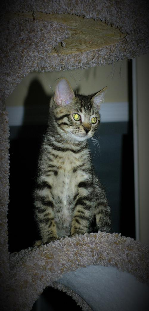 Comet, an adoptable Bengal & Munchkin Mix in Muskegon, MI