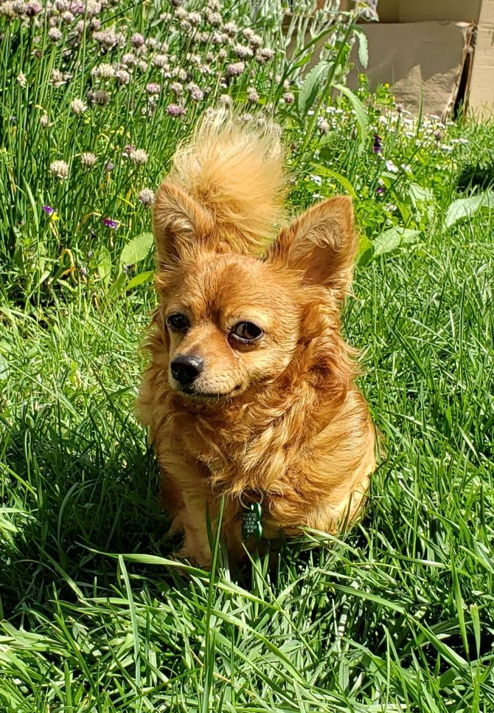 Copper, an adopted Chihuahua & Pomeranian Mix in Calgary, AB