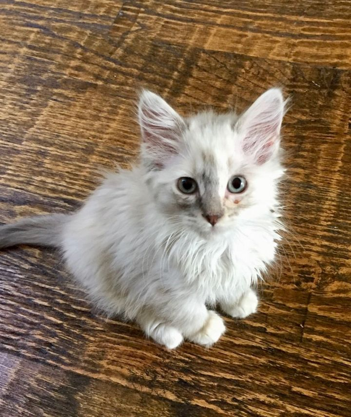 Cat for adoption - Soba, a Ragdoll in Carrollton, TX | Petfinder
