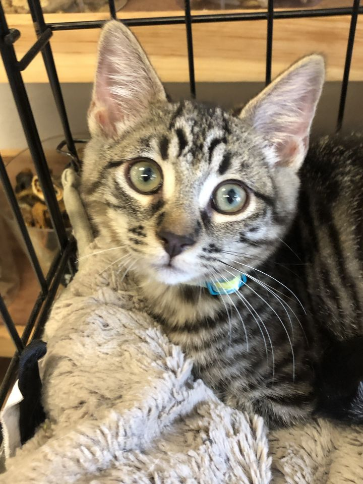Simon, an adoptable Tiger in Glendale, CA
