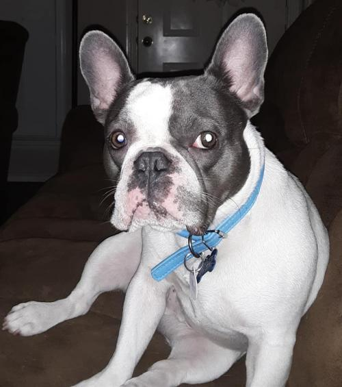 Dog For Adoption Bauer A French Bulldog In Katy Tx Petfinder