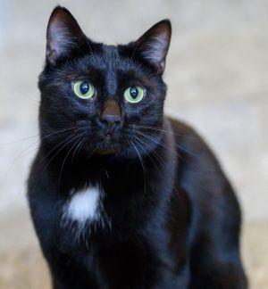 Phife Domestic Short Hair Cat