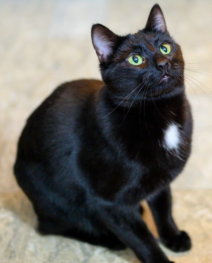 Phife, an adoptable Domestic Short Hair in Briarcliff Manor, NY
