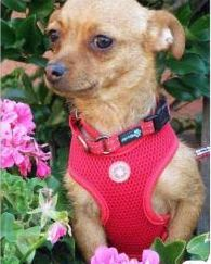 Dog for adoption - Melanie, a Chihuahua Mix in Calgary, AB